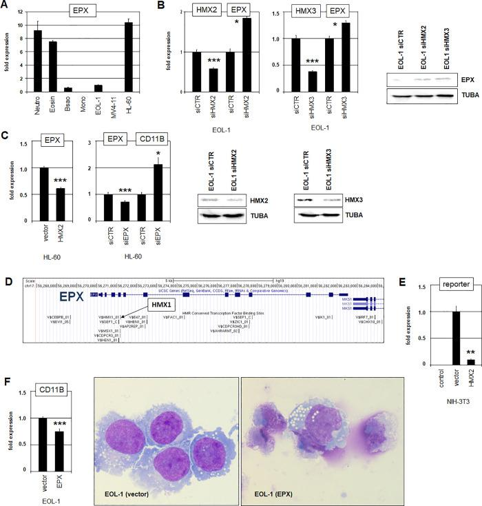 Regulation of EPX by HMX2 and HMX3. (A) Quantification of EPX expression in primary granulocytes (neutrophils, eosinophils, basophils) and selected cell lines by RQ-PCR. (B) SiRNA-mediated knockdown of HMX2 (left) and HMX3 (right) resulted in elevated expression levels of EPX. Reduced expression of HMX2 and HMX3 and elevated expression of EPX was also shown by Western blot analysis. Asterisks indicate calculated p-values obtained by t-Test analysis of controls (siCTR) and siRNA-targeted knockdown. (C) Forced expression of HMX2 in HL-60 cells resulted in reduced expression level of EPX (left). SiRNA-mediated knockdown of EPX resulted in activation of CD11B expression (right). (D) A genomic map of the locus for EPX was obtained from the UCSC genome browser, showing potential transcription factor binding sites including one for HMX1. (E) Reporter-gene assay in NIH-3T3 cells using a fragment containing the identified HMX-site. Forced expression of HMX2 resulted in decreased reporter-gene activity, demonstrating a direct repressive impact. (F) Forced expression of EPX in EOL-1 slightly reduced the expression level of CD11B. Microscopical inspection of Giemsa-May-Grünwald-stained EOL-1 cells indicated strongly induced apoptosis by forced EPX expression as possible consequence of continued differentiation. Living cells resemble differentiated cells after DMSO-induction.