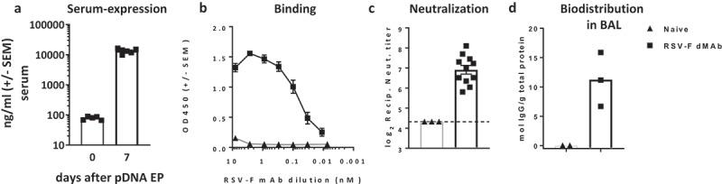 In-vivo expression of RSV-F dMAb in BALB/c mice : 200 µg RSV-F dMAb plasmid was administered IM in BALB/c mice (a-d). Serum samples were taken from treated mice before treatment (day 0) and 7 days after treatment to measure (a) Serum expression of RSV-F dMAb. scFv-Fc construct (± SEM, n = 5–8) (b) RSV-F antigen binding of dMAb. RSV-F binding signal of serum samples from treated (squares) and naïve (triangles) mice (± SEM, n = 4) (c) In vitro neutralization of RSV-A virus. Neutralization titer of serum samples from treated (squares) or naïve (triangles) mice (log2 serum dilution of 60% reduction of plaque-formation; ±SEM, n = 3–11, dotted line indicates LOD at serum-dilution of 1/20) (d) Concentration of scFv-Fc RSV-F dMAb in BAL samples 7 days after RSV-dMAb pDNA delivery in treated (squares) or naïve (triangles) mice (mol scFv-Fc dMAb per gram total protein in lavage sample, n(naïve) = 2, n(RSV-F dMAb) = 3).