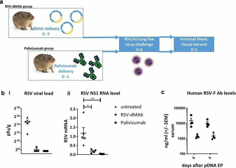 RSV-F dMAb confers protection against LRD after RSV/A challenge of cotton rats: (a) Schematic of cotton rat challenge study: Animals were treated with 2.4 mg RSV-dMAb 7 days before challenge or with an IM injection of 15 mg/kg Palivizumab 1 day before challenge (b) Viral load of cotton rat lung tissue (pfu/g) harvested 5 days after intra-nasal live virus challenge with RSV/A/long (± SEM n = 4–5) (i). RSV Nonstructural protein-1 (NS-1) mRNA levels (log2 and normalized to beta-Actin) of cotton rat lung tissue 5 days after intra-nasal live virus challenge with RSV/A/long (± SEM, n = 4–5, Mann–Whitney non-parametric t-test: p (untreated vs RSV-dMAb) = 0.0159; p (untreated vs Palivizumab) = 0.0079) (ii). (c) Serum levels of Palivizumab and scFv-Fc RSV-F dMAb in cotton rats at the day of challenge (day 0) and 5 days after challenge (± SEM, n = 4–5).