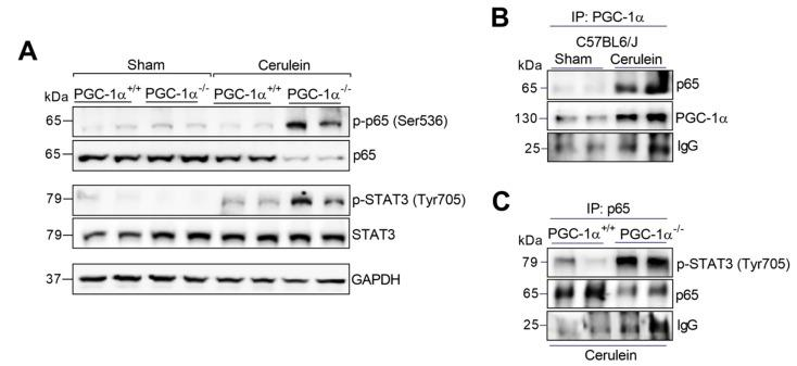 ( A ) Representative Western blot of p-p65 (Ser536), p65, p-STAT3 (Tyr705) and STAT3 in the livers of the sham <t>PGC-1α</t> +/+ (WT) and PGC-1α -/- (KO) mice and at 1 h after cerulein-induced AP (Cerulein). GAPDH was used as the loading control. ( B ) Representative Western blot of p65 and PGC-1α in the PGC-1α immunoprecipitate of the livers of the sham PGC-1α +/+ (WT) mice and at 1 h after cerulein-induced AP mice. ( C ) Representative Western blot of p-STAT3 (Tyr705) and p65 in the p65 immunoprecipitate of the livers of the PGC-1α +/+ (WT) mice and PGC-1α -/- (KO) mice with pancreatitis (Cerulein). IgG was used as the loading control. There were six mice per group.
