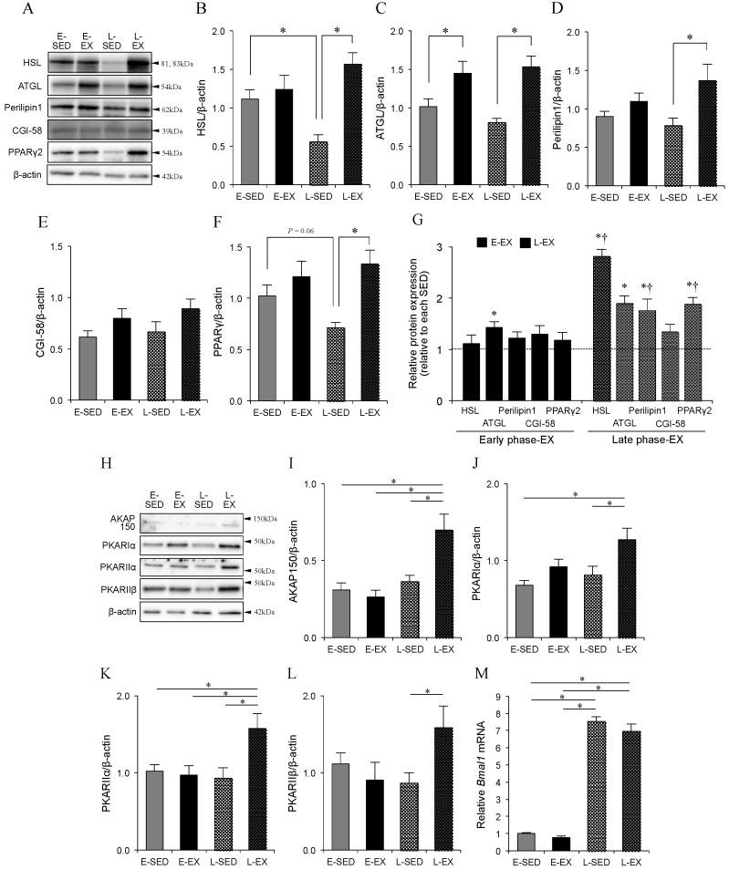 Effect of exercise training timing on the levels of lipolysis-associated proteins in primary adipocytes isolated from epididymal adipose tissues. ( A ) Representative immunoblotting data and the relative amounts of ( B ) HSL, ( C ) ATGL, ( D ) perilipin1, ( E ) CGI-58, and ( F ) PPARγ2 protein, in primary isolated adipocytes from rats, measured by Western blotting and normalized to the amount of β-actin. ( G ) Relative protein expression levels of each band in the E-EX and L-EX groups (levels in respective sedentary controls were set to 1). ( H ) Representative immunoblotting data and the relative levels of ( I ) AKAP150, ( J ) PKA-RIα, ( K ) PKA-RIIα, and ( L ) PKA-RIIβ protein measured by Western blotting and normalized to the level of β-actin. ( M ) Bmal1 mRNA expression level measured by quantitative real-time PCR and normalized to the level of 18S rRNA. In all experiments, data are presented as the means ± S.E. ( n = 6). * p