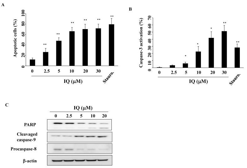 Effect of ilimaquinone (IQ) treatment on apoptosis. ( A ) The percentage of apoptotic cells (Q2 + Q4) after dimethyl sulfoxide (DMSO) vehicle, IQ, or 50 nM staurosporine (Stauro.) treatment for 48 h. SCC4 cells were treated with either DMSO, IQ, or Stauro. in 5% fetal bovine serum (FBS)-supplemented DMEM/F12 medium for 48 h and stained with propidium iodide (PI)/annexin V. Columns, mean; bars, S.D. ( n = 4). ** p