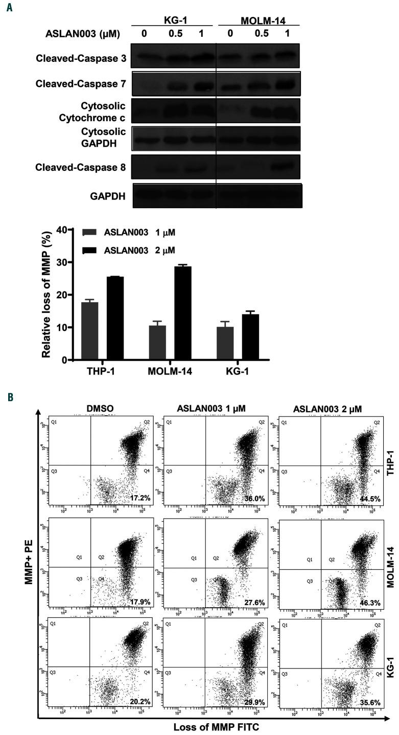 ASLAN003-induced apoptosis involves both <t>mitochondrial</t> and death receptor pathways. (A) Whole-cell lysates or cytosolic fractions from KG- 1 and MOLM-14 cells treated with dimethylsulfoxide (DMSO), 0.5 μM or 1 μM ASLAN003 for 48 h were used to measure apoptosis-related proteins by western blot analyses. (B) THP-1, MOLM-14 and KG- 1 cells were exposed to 1 μM or 2 μM ASLAN003 or DMSO as the control for 48 h and then stained with JC-10 and analyzed by flow cytometry for quantification of intrinsic mitochondrial <t>membrane</t> <t>potential</t> (MMP). Representative FACS plots are shown. The bars in the bar chart represent the means of the increased depolarization of MMP of the three cell lines after exposure to ASLAN003 in two independent experiments, the error bars denote the standard deviation.
