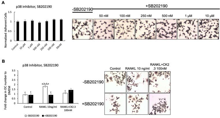 p38 inhibitor, SB202190, did not affect the antagonistic effect of CK2.3 on RANKL-induced osteoclastogenesis. ( A ) Concentration curve for SB202190 to determine the working concentration. ( B ) The effect of SB202190 on the antagonistic effect of CK2.3 on RANKL-induced osteoclastogenesis. a: denotes significant difference from Control without inhibitor, b: denotes significant difference from Control with inhibitor, c: denotes significant difference from RANKL at 10 ng/mL without inhibitor, d: denotes significant difference from RANKL at 10 ng/mL with inhibitor, and e: denotes significant difference from RANKL + CK2.3 at 100 nM without inhibitor.