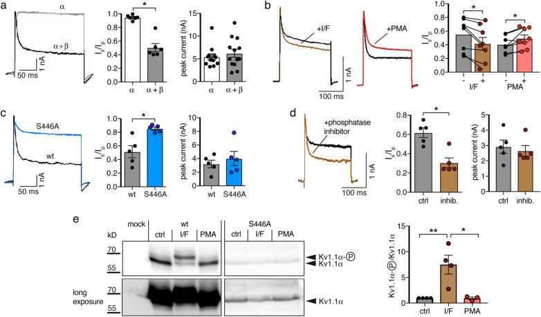 Inactivation of Kv1.1 is regulated by Kvβ and phosphorylation at S446. a Representative recordings, I steady-state / I peak ( I s / I p ), and peak current amplitudes of Kv1.1 with or without co-expression of Kvβ1.1 in HeLa cells. b Representative recordings and I s / I p before and after the application of either IBMX/forskolin (I/F) or of the phorbol ester PMA. c Representative recordings, I s / I p , and peak current amplitudes of the phosphorylation-deficient mutant Kv1.1 S446A co-expressed with Kvβ1.1. d Representative recordings, I s / I p , and peak current amplitudes of Kv1.1 after 1.5 h pre-incubation with a phosphatase inhibitor cocktail. * p