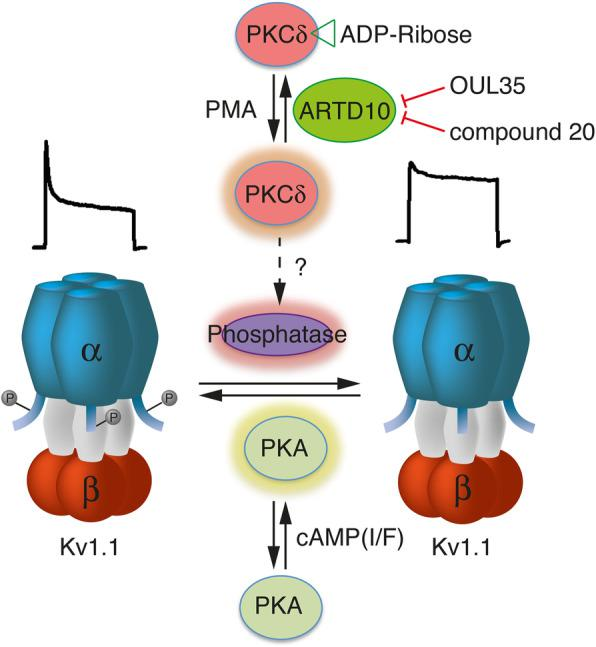 Scheme illustrating the interplay of PKA, PKCδ, and ARTD10 in the regulation of Kv1.1. The regulation of a phosphatase by PKCδ is hypothetical. Current traces above the schemes of the Kv1.1 channels illustrate the typical inactivation pattern of phosphorylated vs. un-phosphorylated Kv1.1α. I/F, IBMX/forskolin; PMA, phorbol-myristate-acetate