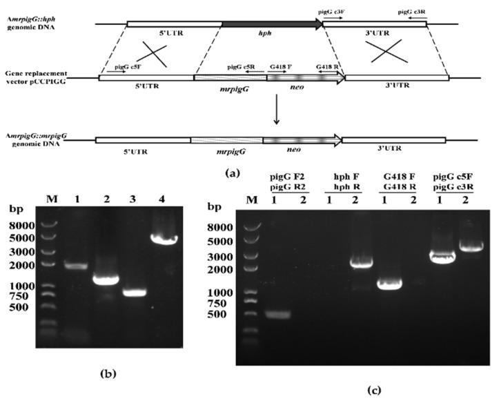 Complementation of mrpigG in M. ruber M7. ( a ) Schematic representation of the homologous recombination strategy to construct mrpigG complementation strains ( b ) Construction of mrpigG complementation cassette by double-joint PCR. Lane 1, 5′ flanking region of mrpigG plus mrpigG ORF regions; lane 2, G418 resistance cassette; lane 3, 3′ flanking region of mrpigG ; lane 4, double-joint PCR product. ( c ) Confirmation of mrpigG homologous recombination events. Four primer pairs were used, and PCR amplifications showed distinct bands in different strains. Lane 1, the Δ mrpigG :: mrpigG strain; lane 2, the Δ mrpigG strain.