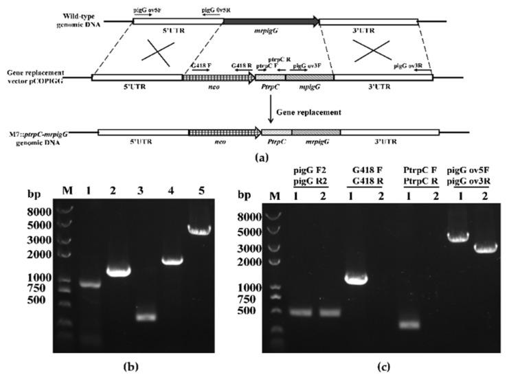 Overexpression of mrpigG in M. ruber M7. ( a ) Schematic representation of the homologous recombination strategy yielding mrpigG overexpression strains. ( b ) Construction of mrpigG overexpression construct by double-joint PCR. Lane 1, 5′ flanking region of mrpigG ; lane 2, G418 resistance cassette; lane 3, the trpC promoter; lane 4, mrpigG ORF regions plus 3′ flanking region of mrpigG ; lane 5, double-joint PCR product. ( c ) Confirmation of mrpigG homologous recombination events. Three primer pairs were used, and PCR amplifications showed distinct bands in different strains. Lane 1, the M7:: PtrpC-mrpigG strain; lane 2, the wild-type strain.