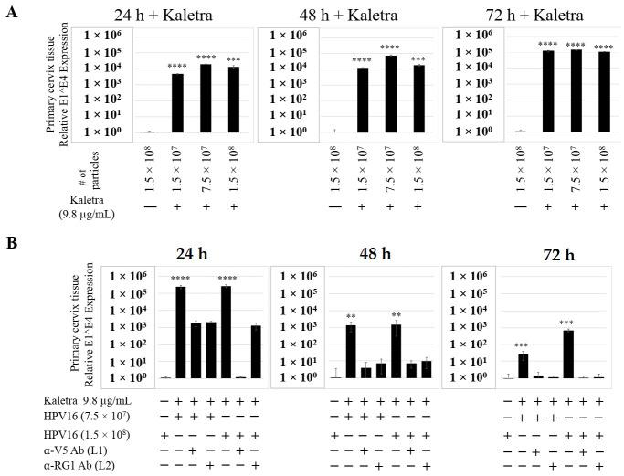 Kaletra (9.8 µg/mL) treatment sensitizes primary cervical tissue to HPV16 infection. ( A ) Comparative expression of HPV16 E1^E4 transcripts in Kaletra (9.8 µg/mL) treated tissues compared with virus infected tissues not drug treated. ( B ) Inhibition of HPV16 infection using α-V5 and α-RG1 of tissues treated with Kaletra. Data were analyzed as mean ± SD. p -values were calculated using two-tailed Student's t -tests. Comparisons are indicated as 0.001