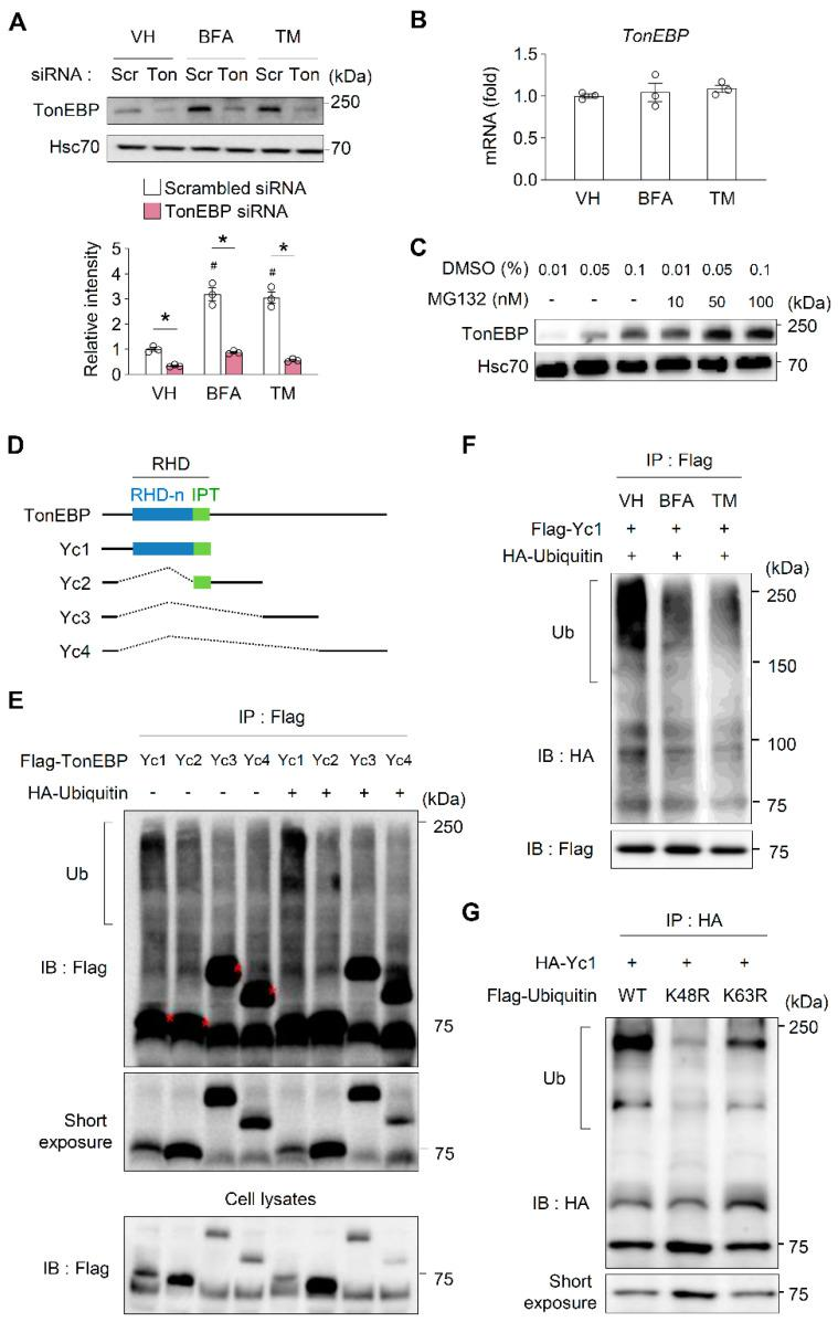 ER stress dramatically increases TonEBP protein stability. ( A ) MIN6-M9 cells transfected with scrambled siRNA (scr) or TonEBP-targeted siRNA (Ton) were treated for 4 h with vehicle (VH), brefeldin A (BFA; 20 μM), or tunicamycin (TM; 1 μg/mL) as indicated. TonEBP and Hsc70 were immunoblotted. Data (mean + SD) were from three independent experiments ( n = 3) each with more than three replicates. # p