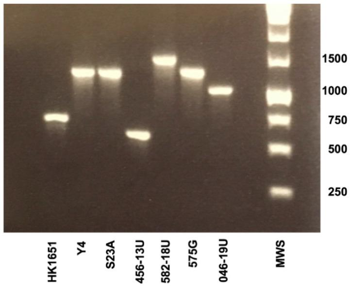 <t>PCR</t> analysis of the leukotoxin promoter region of all A. actinomycetemcomitans ( Aa ) strains compared in the present study, representing five different ltxCABD promoter types. Sizes (bp) of selected bands in the <t>DNA</t> molecular weight marker (MWS) are indicated.