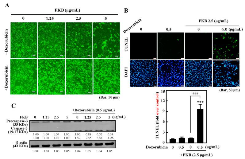 The synergistic effects of flavokawain B (FKB) and co-treatment with doxorubicin induced apoptosis of AGS cells in human gastric cancer. Cells have been exposed to FKB (0–2.5 μg/mL), doxorubicin (0.5 μg/mL), and a 24-h mixture of them. ( A ) Microscopy of phase-contrast (200 scale magnification) was used to investigate structural changes. ( B ) A TUNEL assay was conducted to determine the fragmentation of apoptotic DNA. The green florescence indicates the number of TUNEL-positive cells from three separate samples in the microscopic fields (Bar, 50 micron). ( C ) Western blot study of the protein content of caspase-3. It shows typical results of three independent experiments. On SDS-PAGE, the protein (50 μg) was resolved from each sample, and Western blot was performed. β-actin was used as an internal control of loads. Densitometric analysis calculated relative changes in protein bands with the control as 1.0-fold, as shown just below the gel results ( Figure S1 ). Values were expressed as mean ± SD ( n = 3). Significant at *** p