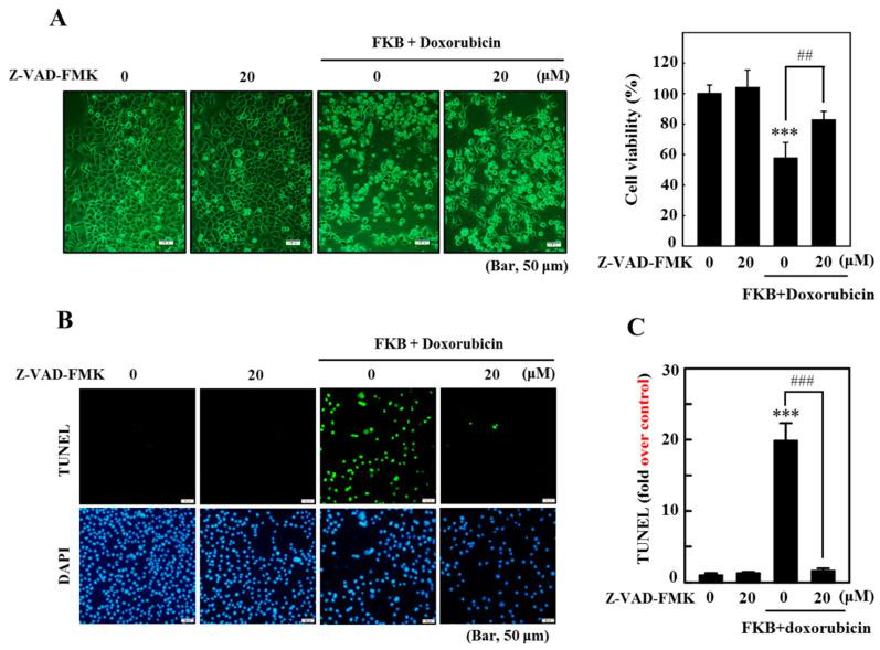 FKB exacerbates apoptotic cell death in AGS cells caused by doxorubicin. Cells were treated for 1 h with the apoptosis inhibitor (Z-VAD-FMK, 20 μM) prior to co-treatment with FKB (2.5 μg/mL) and doxorubicin (0.5 μg/mL) for 24 h. ( A ) Morphological changes were examined under a phase-contrast microscope and the MTT assay was performed on the viability of the cells. ( B , C ) A TUNEL assay was conducted to determine the fragmentation of apoptotic DNA. The green florescence shows the number of TUNEL-positive cells from three separate samples in the microscopic fields (Bar, 50 μM). Values were expressed as mean ± SD ( n = 3). Significant at *** p