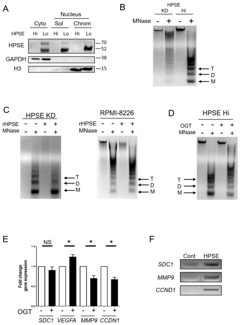 Heparanase enhances chromatin accessibility. ( A ) To determine localization of heparanase, sequential cell fractionation of myeloma cells was used to isolate cytoplasmic (cyto), nucleus-soluble (sol), and nucleus-chromatin (chrom) fractions from CAG wild-type (HPSE Lo) and transfected CAG HPSE Hi cells prior to Western blot analysis. GAPDH and histone H3 (H3) were probed to assess the quality of the fractions. ( B ) Chromatin accessibility in CAG HPSE knockdown (KD) and HPSE Hi cells were assessed by sensitivity to micrococcal nuclease (MNase) digestion. Nuclei from KD and HPSE Hi cells were prepared and digested with 0.1 U/μL MNase and subjected to electrophoresis. Black arrows denote Tri (T), Di (D) and Mono (M)—nucleosomes. ( C ) Nuclei from CAG HPSE KD and RPMI-8226 myeloma cells were treated for 2 h with or without rHPSE before being subjected to Mnase digestion for chromatin accessibility. ( D ) CAG HPSE Hi cells were incubated with 20 µM of the HPSE inhibitor OGT2115 and chromatin accessibility was assessed following exposure of nuclei to MNase. ( E ) mRNA expression analysis by RT-PCR of syndecan-1 ( SDC1 ), vascular endothelial growth factor A ( VEGFA ), matrix metalloproteinase-9 ( MMP9 ) and cyclin D1 ( CCDN1 ) in CAG HPSE Hi cells in the presence or absence of OGT2115, compared to respective control. * p