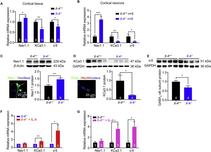 Upregulation of Nav1.1 and downregulations of KCa3.1 and α 6 subunit of GABA A receptors in the cortex from Il-4 −/− mice and supplemental IL-4 increases KCa3.1 and α 6 mRNA expressions. Upregulation of Nav1.1 mRNA expression and downregulations of KCa3.1 and α 6 subunit of GABA A receptors mRNA expression, in cortical tissues (A) and cortical neurons (B) from Il-4 −/− mice. (C) Nav1.1 protein expression in primary mouse cortical neurons by immunostaining and upregulation of Nav1.1 protein in Il-4 −/− mice ( n = 6 mice). (D) The image staining with KCa3.1 antibody (green), NeuN antibody (red, a neuronal-specific nucleus marker) and DAPI (blue, a nucleus marker). Downregulation of KCa3.1 protein in Il-4 −/− mice ( n = 4 mice, Mann Whitney test). (E) Downregulation of α 6 subunit of GABA A protein in Il-4 −/− mice ( n = 4 mice). Increased mRNA expressions of KCa3.1 and α 6 subunit in Il-4 −/− (F) and Il-4 +/+ (G) cortical neurons after supplementing IL-4 (20 ng/mL) in culture for 7 days. Data are expressed as the mean ± SEM, ∗ P
