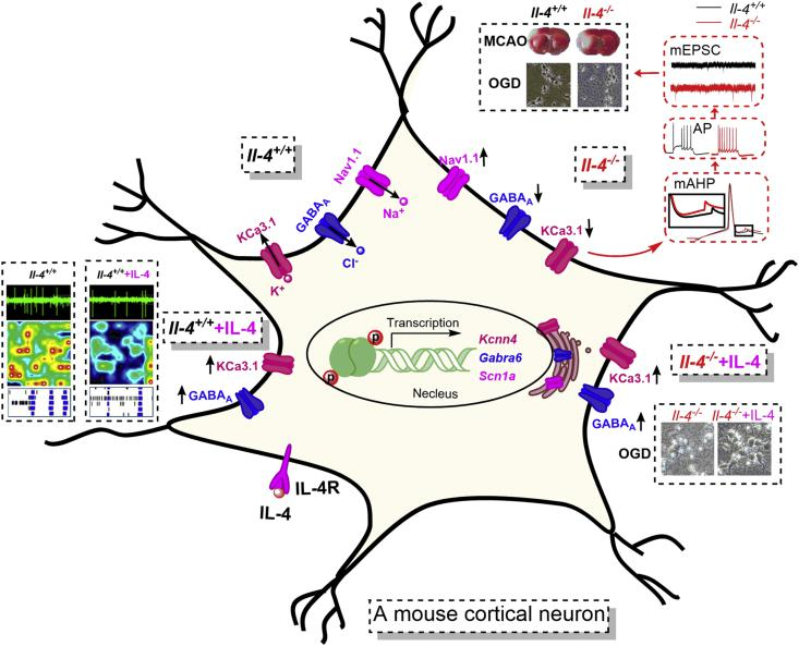 A proposed molecular mechanism underlying increased neural excitabilities and susceptibility to ischemic injury caused by IL-4 deficiency. IL-4 binding to IL-4R actives IL-4 pathway. IL-4 deficiency alters gene transcriptions by downregulating the Kcnn4 gene encoding KCa3.1 protein and Gabra6 gene encoding GABA A receptor chloride channel and upregulating the Scna1 gene encoding Nav1.1 protein through IL-4 signaling pathways. Downregulation of KCa3.1 channels and tonic GABA A receptors can reduce potassium outflow and chloride inflow in neurons, leading to enhanced neuronal firings through membrane depolarization. The upregulation of Nav1.1 channels can increase sodium inflow in neurons. All these alterations can enhance neuronal hyperexcitability and glutamate release from excitatory axon terminals, ultimately increasing susceptibility to ischemic injury. Conversely, enhancement of IL-4 signaling through supplemental IL-4 can increase KCa3.1 and α 6 subunit of GABA A receptors in cortical neurons and reverse neuronal hyperexcitability, thus exerting neuroprotection against ischemic injury.