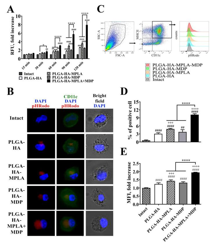 PLGA NPs containing both MPLA and MDP are more effectively phagocytosed by bone marrow-derived dendritic cells (BMDCs) compared to NPs containing individual PRR agonists. ( A ) A time course of phagocytosis quantification by BMDCs of PLGA NPs containing pHRodo-stained hemagglutinin (HA). Immature BMDCs isolated from naïve C57BL/6 mice were seeded in a 96-well plate at 2 × 10 5 cells per well in complete RPMI medium. The next day, PLGA-HA, PLGA-HA-MPLA, PLGA-HA-MDP, and PLGA-HA-MDP-MPLA formulations produced with pHRodo-labeled hemagglutinin were added in a 100 μg/mL final concentration. The medium was removed at the indicated time points, BMDCs were washed with PBS, and the integral fluorescence of each well was determined using a Biotek microplate reader. Each bar represents the mean fold increase ± SD (whiskers) in relative fluorescence units (RFU) over intact (untreated) cells. The mean value of untreated cells (= 1088 ± 10 RFU) was taken equal to 1 (100%). Experiment was performed in triplicate and repeated twice. ( B ) Representative fluorescence microscopy images of BMDCs treated with pHRodo-stained PLGA NPs for 120 min. BMD Cs were stained with anti-CD11c antibodies (green). The cell nucleus was visualized with DAPI (blue). Phagocytosed PLGA NPs were specifically visualized by pHRodo (red) fluorescence. Scale bar represents 20 μm. ( C ) Representative gating strategy used to assess the phagocytic activity of BMDCs. BMDCs were initially gated in an forward versus side scatter (FSC vs. SSC) dot plot and then identified as double positive (MHCII+ CD11c+) population. Phagocytic activity of BMDCs was determined by ( D ) % of pHRodo-positive BMDCs as well as ( E ) fold increase in mean fluorescence intensity (MFI) of total MHCII+ CD11c+ cells relative to untreated cells 120 min after the addition of PLGA NPs. Mean value of untreated cells (= 749.5 ± 9.2 RFU) was taken equal to 1 (100%). Each bar represents the mean ± SD from three independent experiments, each perf