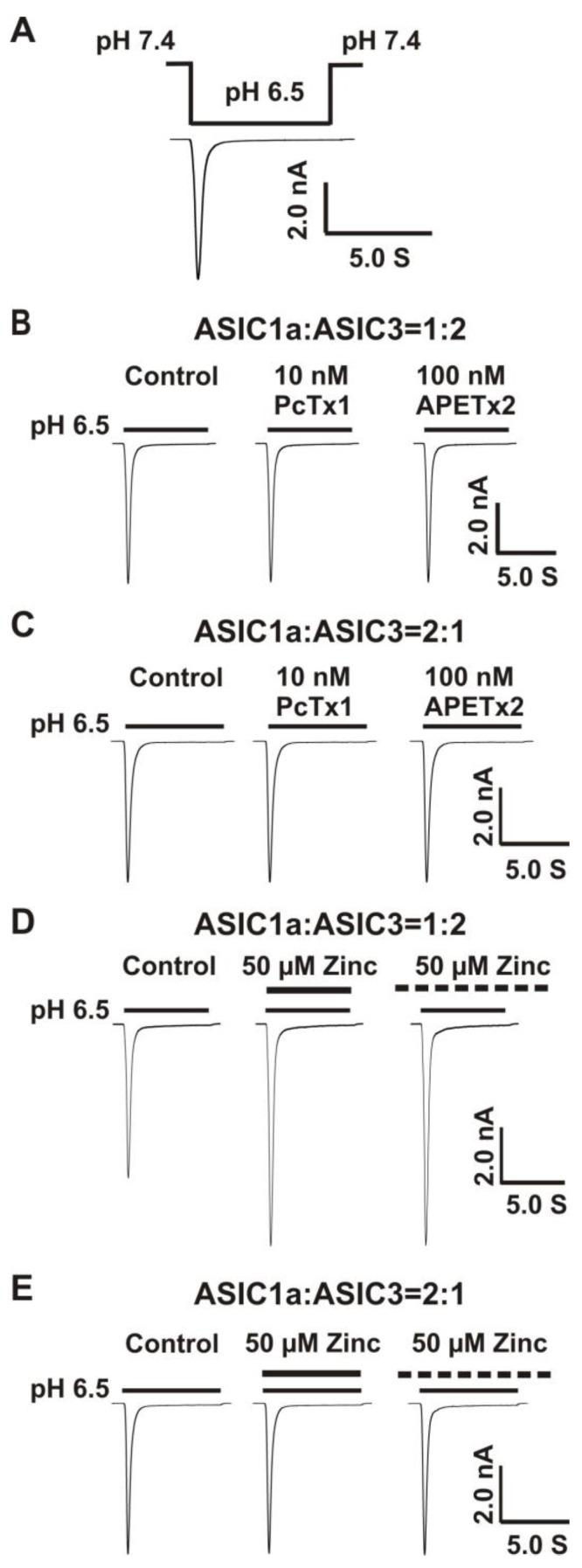 Co-overexpression of 1:2, but not 2:1 ratio of ASIC1a and ASIC3 cDNA revealed a profound response to zinc. ( A ) Activation of heteromeric ASIC1a/3 channels by fast perfusion for a drop in pH from 7.4 to 6.5 on CHO cell expressing both ASIC1a and ASIC3 subunits. The perfusion time for low pH value (e.g., 6.5) is 7 s; ( B ) Representative traces show that PcTx1 (10 nM) and APETx2 (100 nM) have no effects on the heteromeric ASIC1a/3 currents using a 1:2 ratio of ASIC1a and ASIC3, n = 5; ( C ) Representative traces show that PcTx1 (10 nM) and APETx2 (100 nM) also have no effects on the heteromeric ASIC1a/3 currents using a 2:1 ratio of ASIC1a and ASIC3, n = 5; ( D ) Co-application and pretreatment with zinc at 50 µM significantly potentiated the currents of heteromeric ASIC1a/3 using a 1:2 ratio of ASIC1a and ASIC3 (the same cell as Figure 2 B), n = 5; ( E ) Co-application and pretreatment with zinc at 50 µM had no effects on the currents of heteromeric ASIC1a/3 using a 2:1 ratio of ASIC1a and ASIC3 (the same cell as Figure 2 C), n = 5. Dashed black line represents pretreatment with zinc in pH 7.4 extracellular solution (2 min duration).