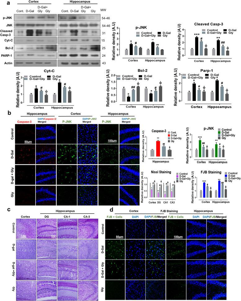 Glycine treatment inhibited d -galactose-induced elevated p-JNK and apoptotic cell death in mice brain. a Representative western blot analysis of stress kinase phosphorylated (p-JNK), cleaved caspase-3, cytochrome c (Cyt. C), Bcl-2 (B-cell lymphoma 2), and PARP-1 (poly-ADP-ribosyltransferase) proteins expression levels in both cortex and hippocampus regions of mice brain. The cropped bands were quantified using ImageJ software, and the differences are represented in the histogram. The density values are expressed in arbitrary units (A.U.) as the mean ± SEM for the respective indicated protein. An anti-β-actin antibody was used as a loading control. n = 8 mice/group, and the number of experiments performed N = 3. b Representative immunofluorescence results of caspase-3 (red; in hippocampus) and activated p-JNK proteins (green; in cortex and hippocampus) of the experimental mice group and c , d Nissl (cortex, DG, CA1, and CA3 regions) FJB staining (green, FITC; Blue) in cortex and hippocampus regions of experimental mice brain. The relative integrated density values are represented in arbitrary units (A.U) as the means (± S.E.M) for the respective indicated proteins. DAPI (blue) was used for nucleus staining. n = 8 mice/group, and the number of experiments = 3. Magnification × 40. Scale bar; 50 μm = cortices; DG hippocampal regions =100 μm. Asterisk (*) sign indicated significant difference from the normal saline treated group; hash (#) sign indicated significant difference from d -gal-treated group; while the phi (Φ) sign indicated no significance from normal saline-treated control group. Significance: * P ≤ 0.05, ** P ≤ 0.01; *** P ≤ 0.001; # P ≤ 0.05, ## P ≤ 0.01