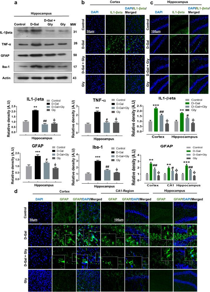 Gly inhibited d -galactose-induced activation of inflammatory proteins in the hippocampus of mice brain. a The Western blot analysis of tumor necrosis factor alpha (TNF-α), interleukin-1 βeta (IL-1βeta), glial fibrillary acidic protein (GFAP), and ionized calcium binding adaptor molecule 1 (Iba1) protein expression level in the hippocampus of mice The cropped bands were quantified using ImageJ software, and the differences are represented in the histogram. The density values are expressed in arbitrary units (A.U.) as the mean ± SEM for the respective indicated protein. An anti-β-actin antibody was used as a loading control. n = 8 mice/group, and the number of experiments performed N = 3. b , c The immunofluorescence images represent the immunoreactivity of IL-1βeta (green, FITC; Blue, DAPI) in cortex and hippocampus of mice ( d ) The immunofluorescence images represent the immunoreactivity of GFAP (green, FITC; blue, DAPI) in cortex and hippocampus (CA-1 and DG regions) of mice The relative integrated density values are represented in arbitrary units (A.U) as the means (± S.E.M) for the respective indicated proteins. DAPI (blue) was used for nucleus staining. n = 8 mice/group, and the number of experiments = 3. Magnification × 40. Scale bar; 50 μm = cortices; DG hippocampal regions =100 μm. Asterisk (*) sign indicated significant difference from the normal saline-treated group; hash (#) sign indicated significant difference from d -gal-treated group; while the phi (Φ) sign indicated no significance from normal saline-treated control group. Significance: * P ≤ 0.05, ** P ≤ 0.01; *** P ≤ 0.001; # P ≤ 0.05, ## P ≤ 0.01.