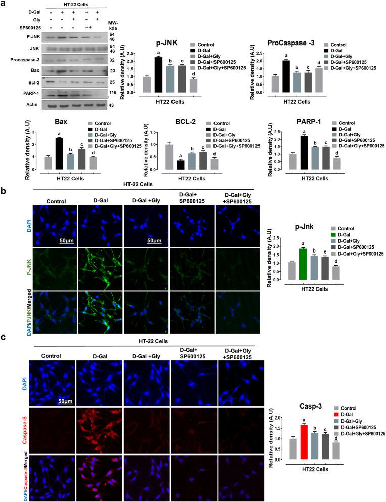Glycine treatment reduced d -galactose-mediated elevated p-JNK-dependent neuroapoptosis in HT22 cells lines. a Representative western blot analysis of activated phosphorylated (p-JNK), procaspase-3, BCL2-associated X protein (Bax), Bcl-2 (B-cell lymphoma 2), and poly [ADP-ribose] polymerase 1 (PARP-1) proteins expression levels with or without JNK inhibitor (SP600125) in the HT22 cell line. The cropped bands were quantified using ImageJ software, and the differences are represented in the histogram. The density values are expressed in arbitrary units (A.U.) as the mean ± SEM for the respective indicated protein. An anti-β-actin antibody was used as a loading control. Number of experiments performed N = 3. b , c Immunofluorescence images of activated p-JNK (green) and caspase-3 (red) proteins along with their relative histograms after drug treatment with d -gal (100 mM), Gly (20 μg/μl), and SP600125 (20 μM) treatment in HT22 cell line for 24 h. The relative integrated density values are represented in arbitrary units (A.U) as the means (± S.E.M) for the respective indicated proteins. DAPI (blue) was used for nucleus staining. The data are expressed as the mean ± SEM. Magnification × 40. Scale bar; 50 μm. a Significantly different from the control group while bcd significantly different from the d -gal-treated groups. Significance: a, b, c, d P
