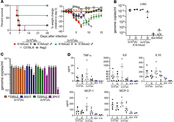 SARS-CoV-2 infection in K18-hACE2 transgenic mice. ( A ) Male and female K18-hACE2 transgenic mice (day 0–3, n = 7/group; day 3+, n = 5/group) were infected with 2 × 10 4 PFU or 2 × 10 3 PFU of SARS-CoV-2 by the IN route. C57BL/6 and RAG2 KO mice (day 0–3, n = 8/ group; day 3+, n = 5/group) were infected with 2 × 10 4 PFU by the IN route. Survival and weight loss (± SEM) were monitored and plotted using Prism software. ( B ) Titers in lung ( n = 2 mice/group) were examined on day 3 by qRT-PCR. Mean titers ± SEM of the genome molecules of viral RNA/mL were graphed. ( C ) Titers in lungs of individual K18-hACE2 mice. Numbers above bars denote day of death. Colors represent the 4 groups. ( D ) Monocyte chemoattractants and inflammatory cytokines were measured from the serum of SARS-CoV-3– infected mice on day 3 or at the time of euthanasia using a multiplex system. Mice from each group are aggregated from samples taken on day 3 (blue symbols) and when mice were euthanized (black symbols).