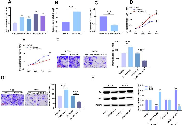 Effects of overexpression or knockdown of DICER1-AS1 on proliferation, migration and invasion of CRC cells. ( A ) The expression of DICER1-AS1 in CRC cell lines was detected by qRT-PCR. ( B and C ) The transfection efficiency of DICER1-AS1 knockdown and overexpression was verified by qRT-PCR analysis. ( D – G ) Cell proliferation, migration and invasion were detected by CCK-8 assay and Transwell assay. ( H ) The protein expressions of Bax and Bcl2 were detected by Western blot. * P