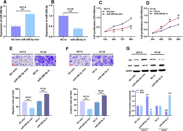Effects of miR-296-5p on proliferation, migration and invasion of CRC cells. ( A and B ) The transfection efficiency of miR-296-5p mimics and miR-296-5p inhibitors was verified by qRT-PCR analysis. ( C – F ) Cell proliferation, migration and invasion were detected by CCK-8 assay and Transwell assay. ( G ) The protein expressions of Bax and Bcl2 were detected by Western blot after transfection. ** P