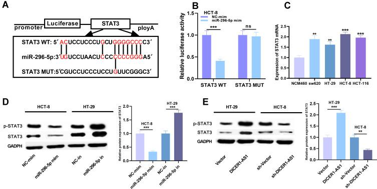 The targeting relationship between miR-296-5p and STAT3 in CRC. ( A ) The potential binding site between miR-296-5p and STAT3 was obtained from TargetScan database. ( B ) The targeting relationship between miR-296-5p and STAT3 was verified by dual-luciferase reporter assay. ( C ) The expression of STAT3 mRNA in CRC cell lines was detected by <t>qRT-PCR.</t> ( D and E ) The protein expression of STAT3 and p- STAT3 was detected by Western blot after transfection. ** P