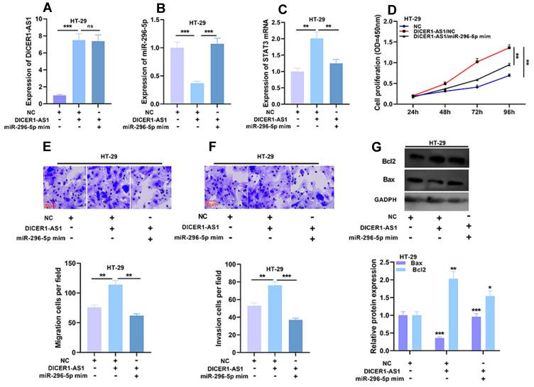 Effects of DICER1-AS1 and miR-296-5p on proliferation, migration and invasion of CRC cells. ( A – C ) The co-transfection efficiency was verified by qRT-PCR analysis. ( D – F ) Cell proliferation, migration and invasion were detected by CCK-8 assay and Transwell assay. ( G ) The protein expressions of Bax and Bcl2 were detected by Western blot after transfection. * P