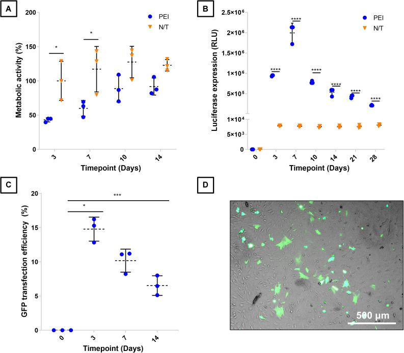 Characterization of BM-MSCs transfection with PEI-pDNA nanoparticles. BM-MSCs were transfected with PEI-GLuc and compared to non-transfected (N/T) in terms of (A) metabolic activity as a surrogate marker of cell viability, and (B) in terms of luciferase expression. BM-MSCs were also transfected with pGFP nanoparticles to determine their (C) transfection efficiency over time, while (D) brightfield and fluorescence microscopy image overlay shows GFP + , successfully transfected cells. *, ***, and **** denotes p