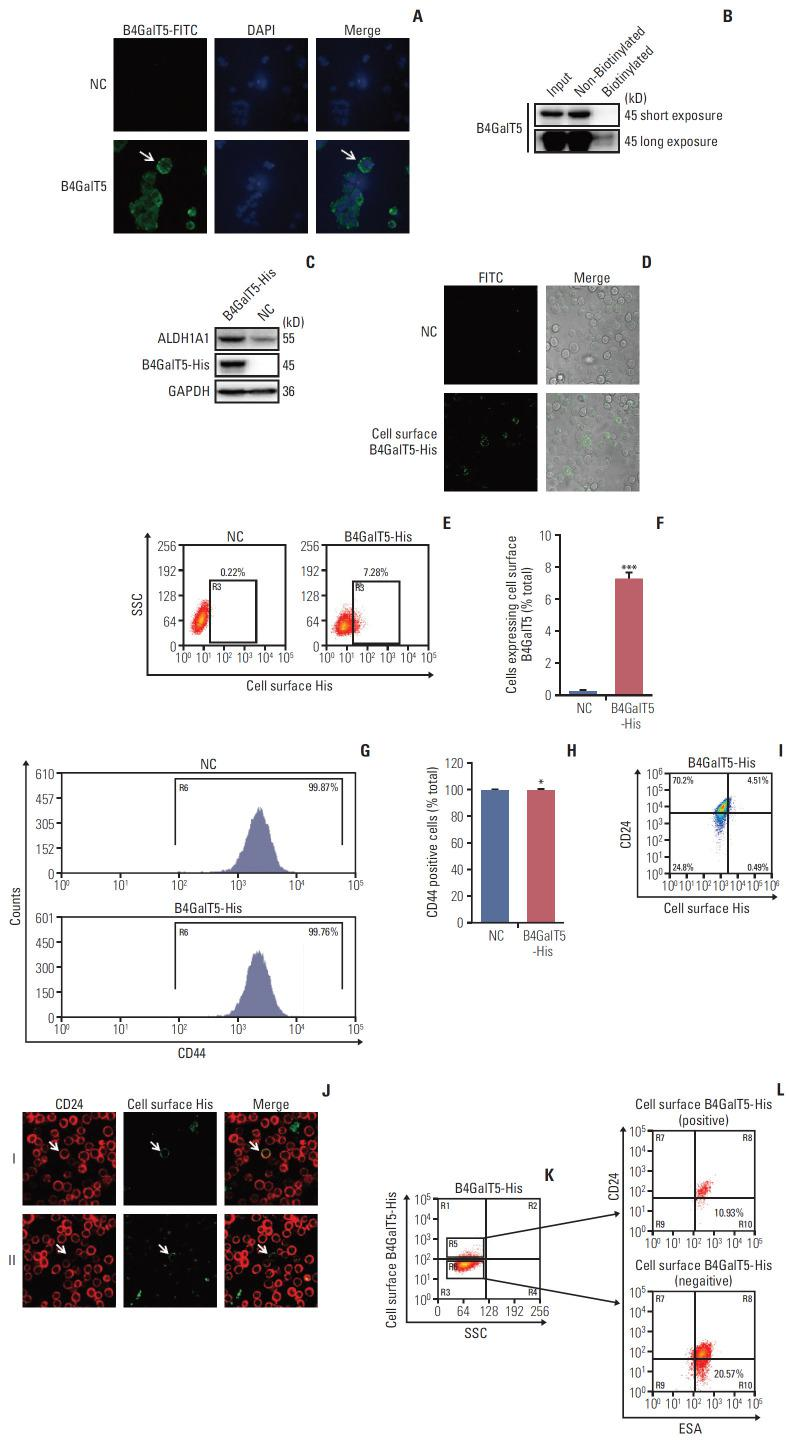 Cell surface β1,4-galactosyltransferase V (B4GalT5) is not responsible for the stemness of breast cancer. (A) Immunofluorescence analysis of B4GalT5 expression in MCF-7ADR cells. Cells were stained with IgG or anti-B4GalT5 antibody followed by fluorescein isothiocyanate (FITC)–conjugated anti-Rabbit antibodies as described and analyzed by a <t>laser</t> <t>scanning</t> <t>confocal</t> <t>microscope.</t> (B) Cell surface biotinylation assay to compare B4GalT5 localization in plasma membrane and cytoplasmic fractions of MCF-7ADR cells. (C) Construction of MCF-7ADR cells that stably expresses B4GalT5 with a C-terminal 6×His tag. MCF-7ADR cells were transfected with pBABE-B4GalT5-His-IRES-puro plasmid for 48 hours and then selected with 150 μg/mL puromycin. Expression of corresponding proteins was examined by western blotting. (D) Representative images of B4GalT5-His expression on the cell surface of MCF-7ADR/B4GalT5-His and MCF-7ADR/NC cells. After digested and resuspended, the cells were stained with anti-His antibody at room temperature for 1 hour followed by FITC-conjugated anti-rabbit antibody at room temperature for 1 hour. Pictures were taken by a laser scanning confocal microscope. (E, F) Flow cytometry (FCM) analysis of B4GalT5-His expression on the cell surface of MCF-7ADR/B4GalT5-His and MCF-7ADR/NC cells. Cells were stained with phycoerythrin (PE)-conjugated anti-His antibody at room temperature for 1 hour and analyzed by Moflo XDP. Error bars represent standard error of the mean (n=3, ***p