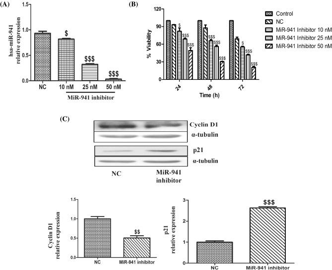 Inhibition of microRNA-941 decreased the proliferation of MDA-MB-231 cells. ( A ) Quantitative real-time PCR of hsa-miR-941 after transfected with MiR-941 inhibitor for 24 h in MDA-MB-231 cells. ( B ) MTT assay of MiR-941 inhibitor on the proliferation of MDA-MB-231 cells. ( C ) Western blots and densitometric analysis of p21 and Cyclin D1 in MiR-941 inhibitor transfected MDA-MB-231 cells for 24 h. Three independent experiments were performed for each cell type. All values expressed as mean ± S.E.M. $ p