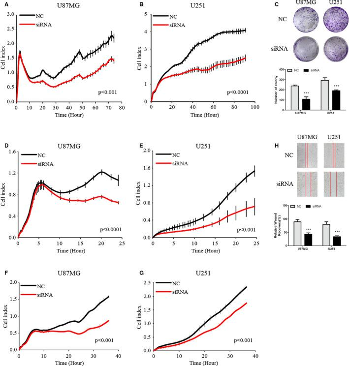 KLHDC8A regulates glioma cell proliferation, migration and invasion. A and B, KLHDC8A knockdown inhibits glioma cells proliferation. U87MG and <t>U251</t> cells were transfected with NC and KLHDC8A siRNA for 24 h. Then, 8000 transfected cells per well were incubated in E‐plate and the cell index was detected by using RTCA xCELLigence at 1‐h intervals for 100 h. C, KLHDC8A knockdown inhibits the colony formation of glioma cells. U87MG and U251 cells were transfected with NC and KLHDC8A siRNA for 24 h. Then, 2000 cells per well were incubated in 6‐well plate for 2 wk. Colony was captured after paraformaldehyde fixation and crystal violet staining. D and E, Transwell assays showed that the migration of U87MG and U251 cells was significantly reduced after KLHDC8A knockdown. F and G, Transwell assays showed that the invasion of U87MG and U251 cells was significantly reduced after KLHDC8A knockdown. H, Wound‐healing assays showed that migration of glioma cells was significantly reduced after KLHDC8A knockdown. Data are mean ± SD from three independent experiments. *** P