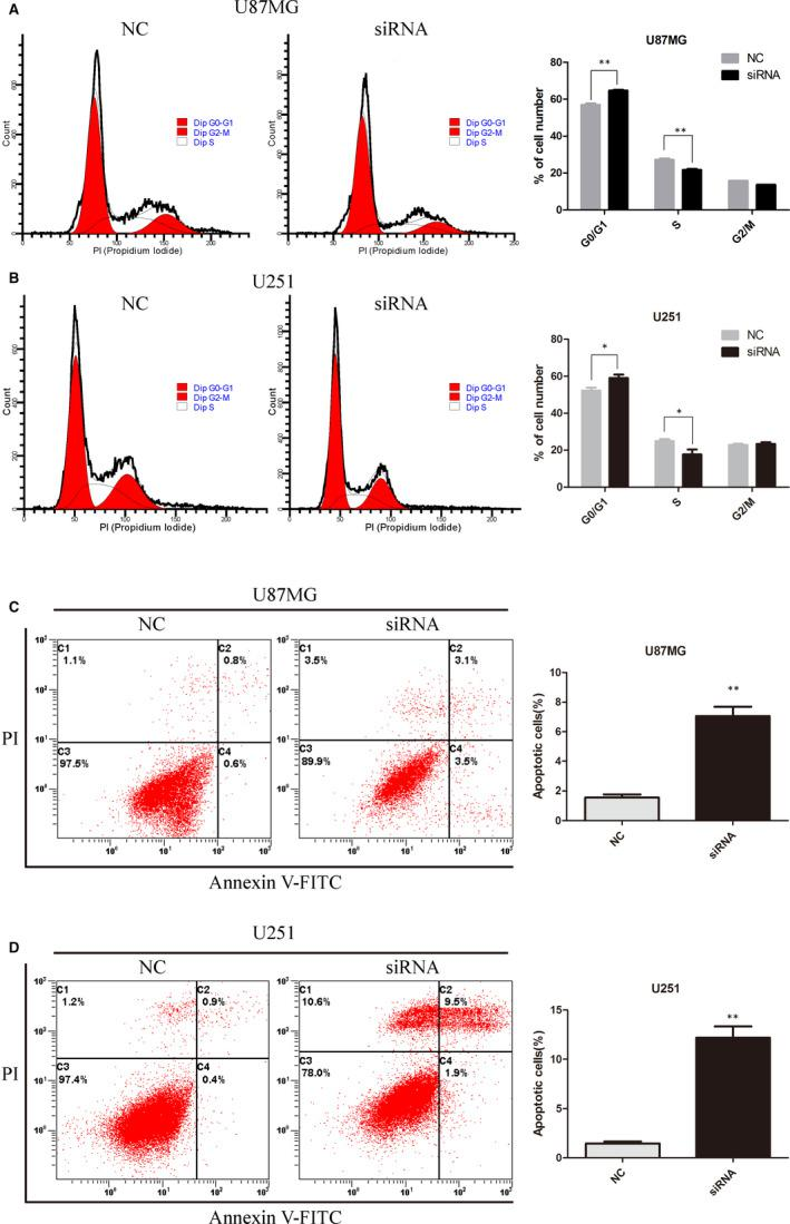 KLHDC8A regulates glioma cell cycle and apoptosis. A and B, KLHDC8A knockdown induces the G0/G1 phase arrest of glioma cells. The U87MG and U251 cells which transfected with NC and KLHDC8A siRNA for 48 h were fixed with 75% ethanol at 4°C overnight before incubated with RNase A and propidium iodide (PI) for 30 min at 37°C. Then, the DNA contents were detected by flow cytometer. The cell cycle was analysed by using FlowJo software. Histograms show the percentage (%) of cell populations at different stages of the cell cycle. C and D, KLHDC8A knockdown induces apoptosis in glioma cells. The U87MG and U251 cells which transfected with NC and KLHDC8A siRNA for 48 h were incubated with annexin V‐FITC and propidium iodide (PI) for 15 min at 4°C. Then, the cell apoptosis was detected by flow cytometer. The cell apoptosis were analysed by using FlowJo software. Histograms show the percentage (%) of cell apoptosis. Data are mean ± SD from three independent experiments. * P