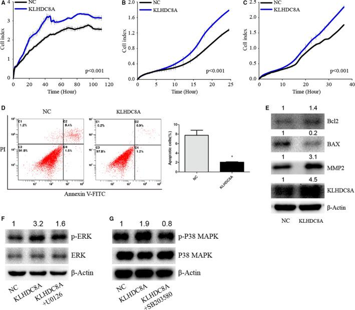 KLHDC8A overexpression regulates proliferation, migration, invasion and apoptosis, and activates ERK and p38 MAPK signalling. A, KLHDC8A overexpression promotes glioma cells proliferation. The RTCA assay was used to measure U251 proliferation ability. B and C, Transwell using RTCA revealed that KLHDC8A overexpression promotes the migration and invasion of glioma cells. D, Cell apoptosis induced by starvation in U251 were detected using flow cytometry. Histograms show the percentage (%) of cell apoptosis. E, Apoptosis‐ and migration‐related proteins were detected in U251 transfected with the NC or KLHDC8A plasmid. F, U251 were pretreated with KLHDC8A plasmid and the ERK inhibitor U0126 (10 μmol/L) for 24 h Then, Western blot examined for the protein levels. G, U251 were pretreated with KLHDC8A plasmid and the p38 MAPK inhibitor SB203580 (10 μmol/L) for 24 h Then, Western blot examined for the protein levels. Numbers on up of bands are fold change of level relative to corresponding negative control. Data are mean ± SD from three independent experiments. * P