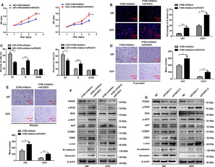 Silence of FOXO1 mitigates the inhibitory effects of miR‐5188 knockdown on glioma cell proliferation, invasion and migration. MTT assays (A), EdU incorporation assays (B), flow cytometry assays (C), transwell assays (D) and Boyden assays (E) were performed in U251 or U87 cells treated with control sequence, FOXO1 siRNA or miR‐5188 inhibitor, as indicated. Scale bars, 100 μm. F, Western blotting analyses were applied to measure the protein levels of FOXO1, P‐PI3K, PI3K, P‐AKT, AKT, CCND1, CDK4, c‐JUN, N‐cadherin and vimentin in U251 or U87 cells treated with control sequence, FOXO1 siRNA or miR‐5188 inhibitor, as indicated. G, Western blotting analysis analyses were applied to measure the protein levels of FOXO1, P‐PI3K, PI3K, P‐AKT, AKT, CCND1, CDK4, c‐JUN, N‐cadherin and vimentin protein levels in U87 and U251 cells transfected with control sequence or FOXO1 siRNA. * P