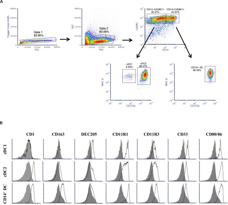 Phenotype of Flt3 ligand-derived dendritic cells (Flt3L-DCs). Cells were stained for multi-color flow cytometry. (A) Illustrative density plots show the gating strategy: singlets → excluding cell debris → selecting CADM1 + population and divided by CD14 → identify cDC1-putative and cDC2-putative populations based on MHC-II + and different expression of cD172a. Three putative populations were identified with cDC1-putative population gated as CADM1 + CD14 – MHC-II + CD172a – / lo , cDC2-putative population as CADM1 + CD14 – MHC-II + CD172a + , and plus a CD14 + population (CADM1 + CD14 + MHC-II + CD172a + ) without classification. (B) Expression of phenotypic markers CD1, CD163, DEC205, CD11R1, CD11R3, CD33, and CD80/86 on the defined cDC1-putative, cDC1-putative, and CD14 + populations was assessed by flow cytometry. The filled histogram represents the FMO control. The density plots and histograms shown are illustrative for one but represent four pigs.