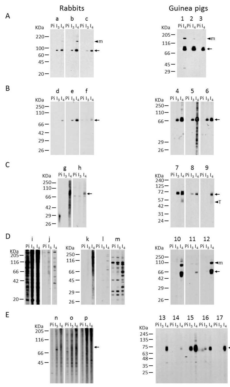 """Immuno-blotting-based comparative analysis of rabbit and guinea pig antisera. Lysates for one large well from COS-7 cells or HEK 293T cells transfected with plasmids encoding human ecto-5′-nucleotidase ( A ), rat ecto-5′-nucleotidase ( B ), human NTPDase1 ( C ), mouse NTPDase3 ( D ) or mouse NTPDase8 ( E ) were subjected to electrophoresis under non-reducing conditions, electrotransferred to an Immobilon-P membrane and probed with rabbits """"a"""" to """"p"""" (left panels) or guinea pig """"1"""" to """"17"""" (right panels) antisera. The sera presented are the pre-immune (Pi) negative controls and the immune sera collected after the third (I 3 ), the fourth (I 4 ), the fifth (I 5 ) or the sixth (I 6 ) injection. Specific bands are denoted with an arrow. Multimeric (M) and truncated (T) protein forms are indicated with an arrow head. The antibodies shown were diluted 1:500 except for the rabbit """"g"""" in panel C and rabbits """"k,"""" """"l"""" and """"m"""" in panel D that were diluted 1:1000."""