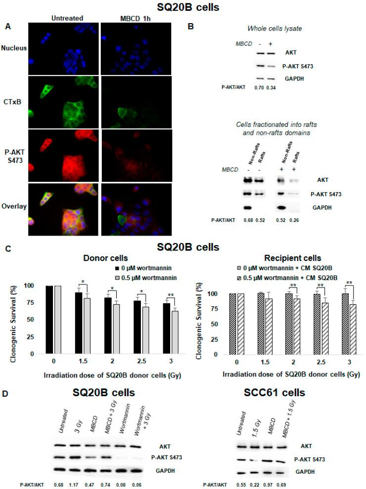 An endogenous <t>AKT</t> protein resides in lipid raft fractions of SQ20B cells and confers resistance to targeted and nontargeted effects. ( A ) SQ20B cells treated without (untreated) or with MBCD were incubated with Alexa-488-conjugated cholera toxin B (CTxB) following incubation with p-AKT <t>S473.</t> ( B ) SQ20B cells were pretreated in the presence or absence of MBCD, and total cell lysates (upper panel) or fractions isolated from non-raft and raft domains (bottom panel) were subjected to SDS-PAGE followed by western blotting for p-AKT S473. ( C ) SQ20B cells were preincubated or not with the phosphatidylinositol-3-kinase (PI3K) inhibitor (0.5 µM wortmannin) for 60 min followed by irradiation (donor cells) or CM from SQ20B donor cells (recipient cells), and clonogenic survival was determined. The results are the mean ± SD of three experiments performed in triplicate. * p