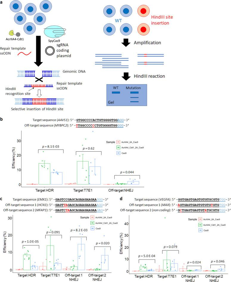 """Genome editing through HDR by using repair template ssODN. a Method to confirm the HDR efficiency using HindIII restriction enzyme. b – d Results of specific HDR and off-target mutation at three different targets ( b : AAVS1 gene, c : EMX1 gene, d : VEGFA gene). Each PCR product amplified from extracted genomic DNA reacted with HindIII for target HDR or T7E1 for target T7E1 and off-target mutation. Target T7E1 includes mutagenesis by HDR and NHEJ. The editing efficiency was calculated by the formula; 100 × ((b + c)/(a + b + c)) for HDR, 100 × (1–sqrt(1 – (b + c)/(a + b + c))) for off-target mutation, where """"a"""" is the integrated intensity of the undigested PCR product, and """"b"""" and """"c"""" are the integrated intensities of each cleavage product. n = 6 for SpyCas9 and AcrIIA4-Cdt1-2A-Cas9 samples. n = 3 for AcrIIA4-2A-Cas9 sample. Actual electrophoresis images are shown in Supplementary Fig. 6 . Significance in difference was tested by Student's t -test."""