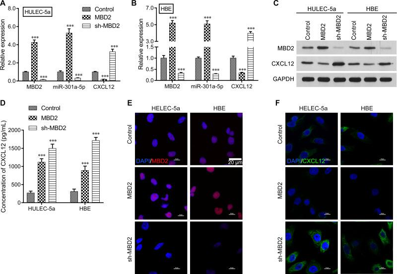 The regulatory effects of MBD2 on miR-301a-5p and CXCL12 expression in vitro. HULEC-5a or HBE cells were transfected with MBD2 or sh-MBD2, followed by CSE treatment. The levels of MBD2, miR-301a-5p, and CXCL12 expression in transfected ( A ) HULEC-5a and ( B ) HBE cells were measured by the qRT-PCR. ( C ) The relative levels of MBD2 and CXCL12 protein expression in transfected HULEC-5a and HBE cells were examined by Western blotting. ( D ) The extracellular CXCL12 concentrations in media from transfected HULEC-5a and HBE cells were determined by ELISA. Data are expressed as the mean ± SD. *** P