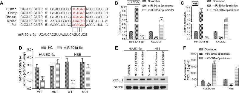 MiR-301a-5p repressed CXCL12 expression by targeting the 3ʹUTR. ( A ) The predicted miR-301a-5p target sequence in the 3ʹUTR of CXCL12 mRNA. ( B ) Luciferase reporter assays were performed using HULEC-5a and HBE cells that had been co-transfected with miR-301a-5p or the NC together with WT or MUT CXCL12. Each treatment was performed in triplicate in three independent experiments. Results are expressed as relative luciferase activity (Firefly LUC/Renilla LUC) and were analyzed by Student's t -test. HULEC-5a or HBE cells were transfected with miR-301a-5p mimics, the inhibitor or scramble, and then used for an analysis of miR-301a-5p and CXCL12 expression by qRT-PCR ( C-D ), as well as for an analysis of CXCL12 protein expression by Western blotting ( E ) and ELISA ( F ). Data are expressed as the mean ± SD. *** P