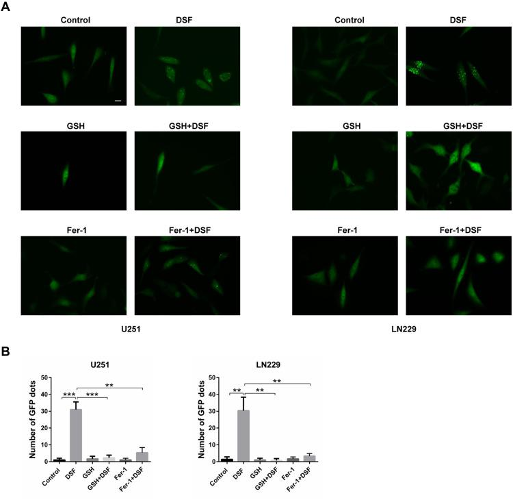 DSF induces LMP in a ROS-dependent manner. ( A ) Fluorescence images of cells transfected with EGFP-Gal3. U251 and LN229 cells were treated with DSF and inhibitors of ferroptosis, 5 mM GSH or 2 µM ferrostatin-1 (Fer-1), and compared with DSF treatment alone. ( B ) Quantification of green punta in ( A ). ** P