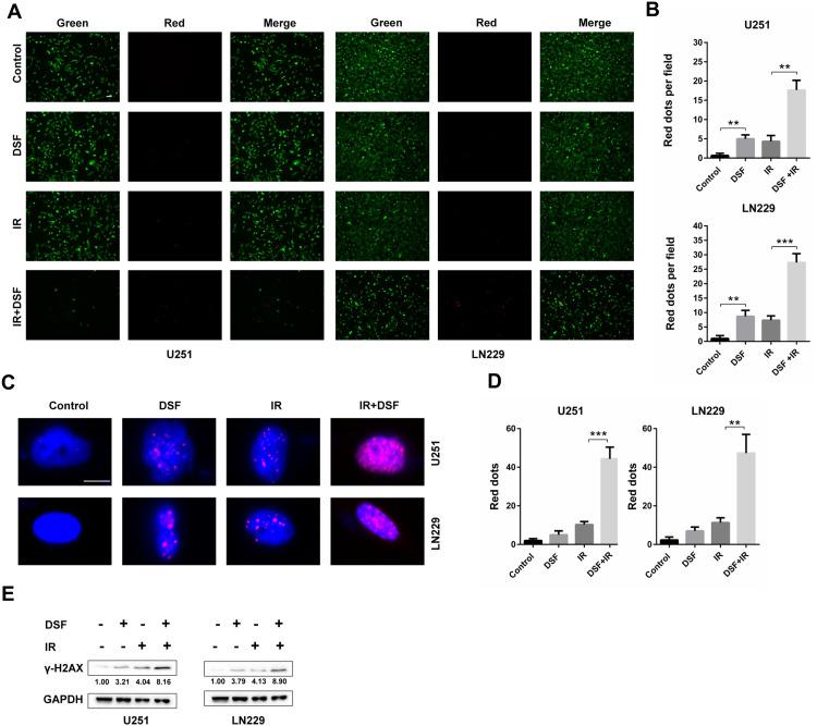 DSF enhances the radiosensitivity of GBM cells. ( A ) Fluorescence images of the Live/Dead staining assay (green fluorescence, live; red fluorescence, dead) performed on U251 and LN229 cells treated with DSF (5 µM), radiation (4 GY, IR) or a combination of DSF and radiation. ( B ) Quantification of dead cells (red fluorescence) in ( A ). ( C ) Immunofluorescence staining of γ-H2AX (red fluorescence) to determine the double strand breaks (DSBs) caused by DSF, radiation (IR) or a combination of DSF and radiation. ( D ) Quantification of red puncta associated with γ-H2AX in ( C ). ( E ) Western blot analysis of lysates prepared from U251 and LN229 cells treated with DSF (5 µM), radiation (4 GY, IR) or a combination of DSF and radiation. GAPDH was used as a loading control. The γ-H2AX/GAPDH ratio was calculated using ImageJ. **P