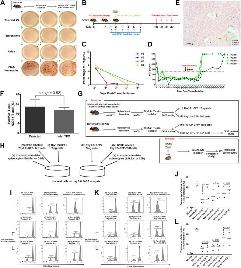 Analyzing the role of Treg cells in tolerant B6 mice. (A) Analysis of IFN-γ-secreting CD8+ T cells in tolerant mice using an ELISpot assay. CD8+ T cells stimulated with PMA (phorbol myristate acetate) (50 ng/ml) and ionomycin (1 μg/ml) were used as a positive control. The absolute number of IFN-γ-secreting CD8+ T cells was counted using an ELISpot Reader. (B) Schematic illustration of the experimental setup. Diphtheria toxin was given on days 28, 29, 31, and 32 posttransplantation at 1.5 µg per dosage. (C) Percentage of Treg cells in peripheral blood before and after diphtheria toxin treatment. (D) BGL was measured with a OneTouch Ultra device from day 0. The blood was obtained from snipped tail. (E) Immunohistochemical stain of liver tissues of hyperglycemic B6 mice. Section slides were triple-stained with anti-CD3 (brown), anti-insulin (red), and anti-FoxP3 (blue). Original magnification 100 μm. (F) The ratio of FoxP3+ Treg cells to CD3+ T cells near the graft sites was analyzed using Cell Counter Image J software. The ratio was obtained from three different areas, and each group expressed as mean ± SD (Fig. S3). (G) Schematic illustration of mixed lymphocyte reaction. Stimulator and responder cells were prepared as described in Materials and Methods. (H) Schematic illustration of cell coculture. In a coculture of CFSE-labeled naïve effector T cells with irradiated BALB/c or C3H splenocytes, Treg cells isolated from tolerant and naïve mice were added at a ratio of 2:1, 8:1, and 32:1, respectively. Cells were incubated in a 96-well round-bottom plate for 5 d. (I, J). The suppressive ability of Treg cells against the proliferation of naïve effector T cells in the coculture with irradiated BALB/c splenocytes was evaluated through FACS analysis. (K, L) The suppressive ability of Treg cells against the proliferation of naïve effector T cells in the coculture with irradiated C3H splenocytes was evaluated through FACS analysis. Naïve effector T cells stimulated with anti