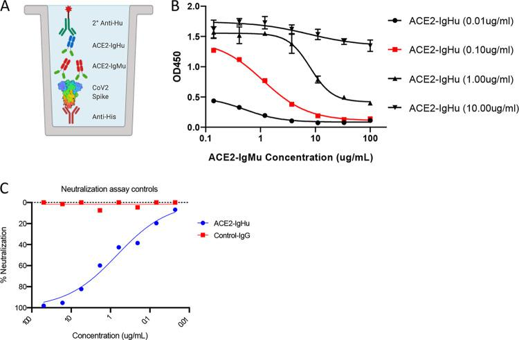ACE2 receptor competition assay development. (A) Competition ELISA schematic displaying immobilized anti-His pAb (red) capturing His6×-tagged <t>SARS-CoV-2</t> spike protein (rainbow). Premixed ACE2-IgHu (green, blue) at a constant concentration with a dilution series of competitors (green, red) is added, and anti-human HRP (green) determines the amount of ACE2-IgHu remaining in the presence of competitors through a colorimetric readout. (B) Four constant concentrations of ACE2-IgHu were tested with various concentrations of the ACE2-IgMu competitor to establish an optimal ACE2-IgHu concentration which displays a full blocking curve (red, 0.10 μg/ml) from the competitor dilution series while retaining a wide range in signal. (C) Pseudovirus neutralization curves for a control antibody (non-SARS-CoV-2) in red and for ACE2-IgHu in blue.