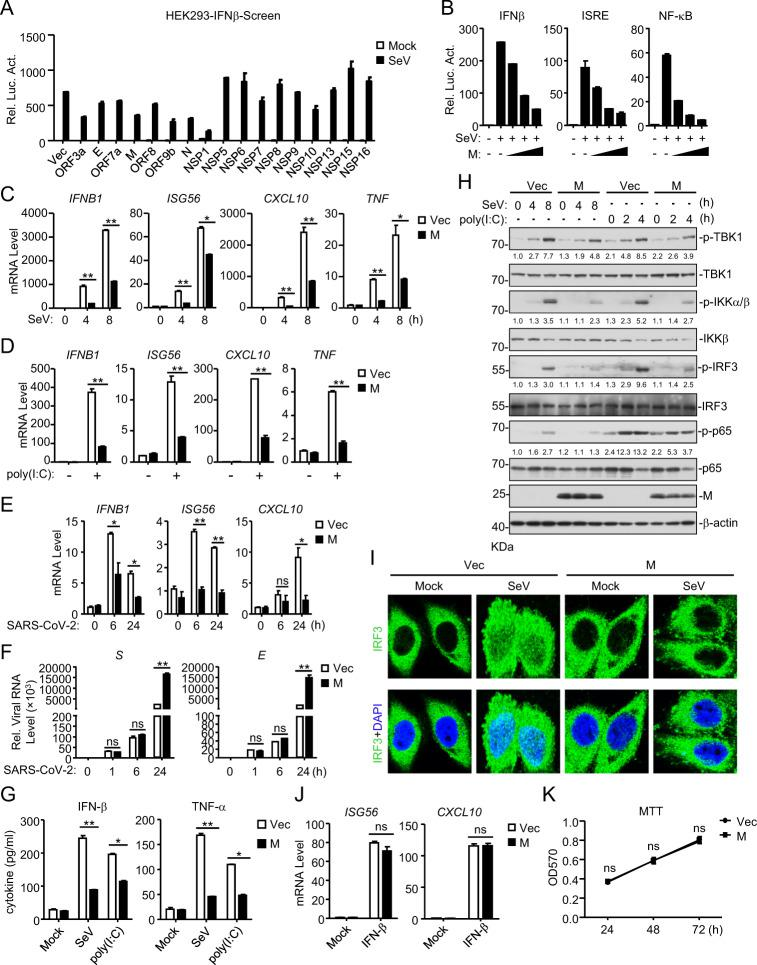 Identification of SARS-CoV-2 M as an inhibitor of the viral RNA-triggered innate immune response. a Screening for SARS-CoV-2 proteins that inhibit the SeV-triggered activation of the IFN-β promoter. HEK293T cells were transfected with an IFN-β promoter luciferase plasmid and the indicated SARS-CoV-2 protein expression plasmids for 20 h and then infected with SeV (MOI = 1) or left untreated for 12 h before luciferase assays were performed. b The M protein inhibits the SeV-triggered activation of the IFNβ promoter, ISRE and NF-κB in a dose-dependent manner. HEK293T cells were transfected with the indicated reporter plasmids and increasing amounts of the Flag-M plasmid for 20 h and then infected with SeV (MOI = 1) or left untreated for 12 h before luciferase assays were performed. c The M protein inhibits the SeV-triggered transcription of antiviral genes in HEK293 cells. HEK293 cells stably expressing the M protein were left uninfected or infected with SeV (MOI = 1) for the indicated times before qPCR analysis was performed. d The M protein inhibits the poly (I:C)-triggered transcription of antiviral genes in HEK293 cells. HEK293 cells stably expressing the M protein were mock-transfected or transfected with poly (I:C) for 6 h before qPCR analysis was performed. e The M protein inhibits the SARS-CoV-2-triggered transcription of antiviral genes in HEK293 cells. HEK293-ACE2 cells were transfected with the Flag-M plasmid for 20 h and then infected with SARS-CoV-2 (MOI = 1) or left uninfected for the indicated times before qPCR analysis was performed. f Effects of M on viral genome replication during SARS-CoV-2 infection in HEK293-ACE2 cells. HEK293-ACE2 cells were transfected with the Flag-M plasmid for 20 h and then infected with SARS-CoV-2 (MOI = 1) or left uninfected for the indicated times before qPCR analysis was performed. g The M protein inhibits the SeV- and poly (I:C)-induced secretion of IFN-β and TNF-α in HEK293 cells. HEK293 cells stably expressing the M prot