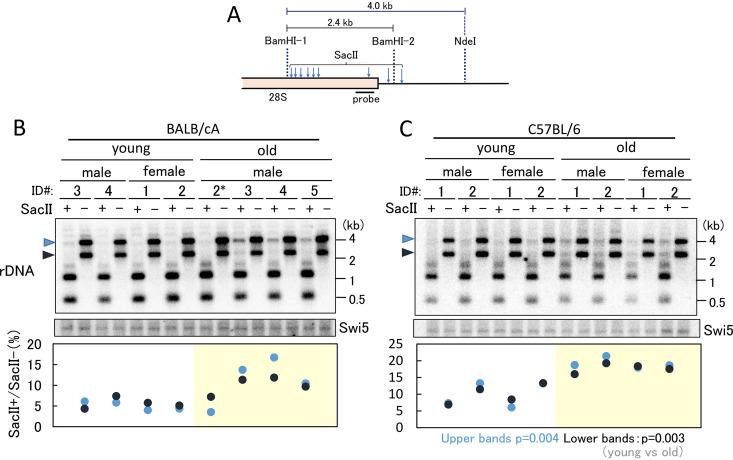 rDNA methylation in old and young bone marrow cells. rDNA methylation was detected by digestion with the methylation-sensitive enzyme SacII. (A) Position of the probe for Southern blot analysis in panels B and C and recognition sites for BamHI and SacII. (B and C) Ratio of copy numbers of methylated rDNA in young and old mice. Southern blot analysis was used to detect the ratio in undigested bands by SacII (top). The positions of undigested bands are indicated by arrowheads on the left-hand side of the panels. The SWI5 gene served as a loading control (middle). A single-copy gene, SWI5, was detected on the same filter used for the experiment shown in the upper panel. Analysis of rDNA that failed to digest with SacII was performed (bottom). The signal intensities of the undigested rDNA (SacII + ) and nondigested (SacII − ) bands were measured, and the ratios were plotted. The black and blue dots show the results corresponding to the bands indicated by the black and blue arrowheads, respectively, in the top panel. Identification (ID) numbers of individual mice that were used to isolate the bone marrow cells are given ( Fig. 3 ). P values were calculated from the average of the values for young and old mice.