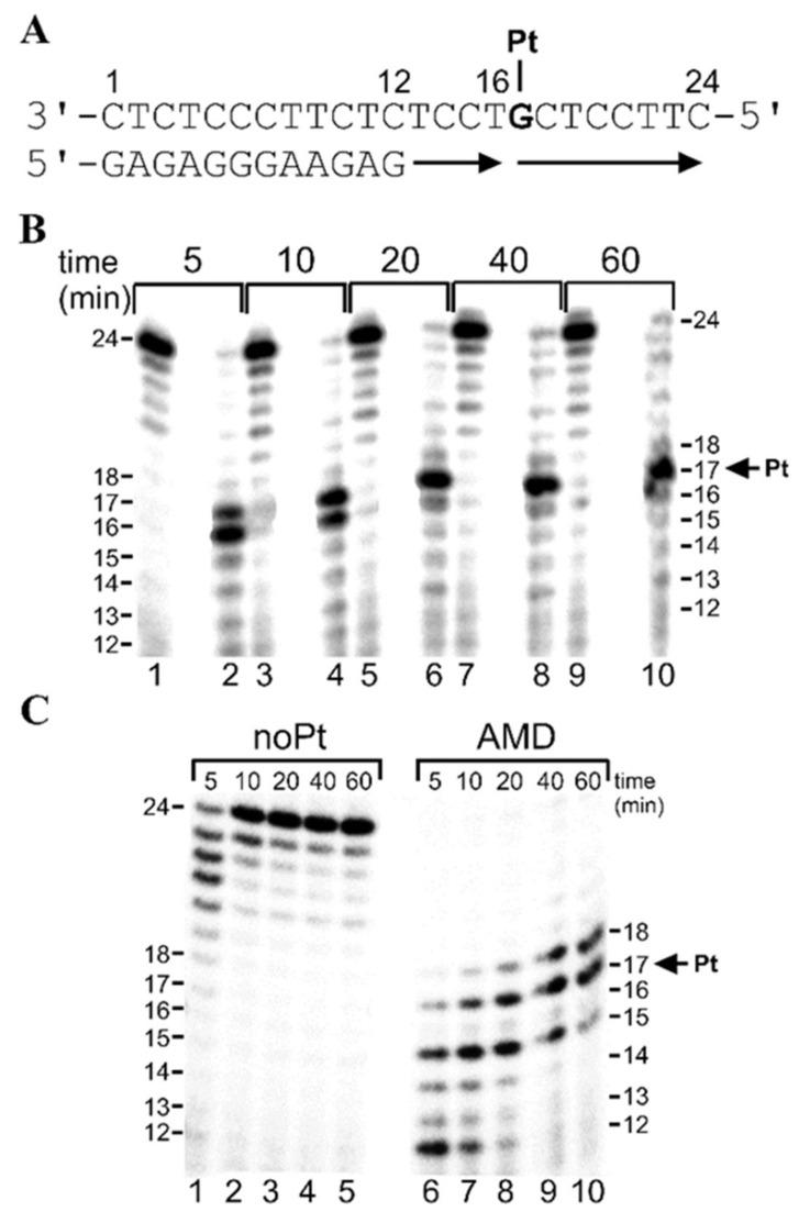 """Translesion DNA synthesis by <t>Klenow</t> fragment (KF − ) and DNA polymerase η (pol η) on the 12-mer/24-mer primer-template duplex non-modified or containing a single, monofunctional adduct of AMD in the presence of all four <t>dNTPs</t> (""""running start"""" DNA synthesis) for various time intervals (time points of 5–60 min are shown above the gels). The sequence of the primer–template sequence is shown in ( A ) and the position of the platinated G residue is indicated. Representative images of the DNA polymerase reaction products resolved on 15% polyacrylamide (PAA) gel are shown for DNA synthesis ( B ) by KF − in the presence of 25 μM of each of the four dNTPs and ( C ) by pol η in the presence of 100 μM of each of the four dNTPs. Lanes in Figure 2 B: 1, 3, 5, 7, 9, undamaged template; 2, 4, 6, 8, 10, the template containing the single, site-specific monofunctional adduct of AMD. Lanes in ( C ): 1–5, noPt, DNA synthesis using an undamaged template; 6–10, AMD, DNA synthesis using the template containing the single, monofunctional adduct of AMD. The pause sites (the product lengths) are shown on the right or left side of the gels."""